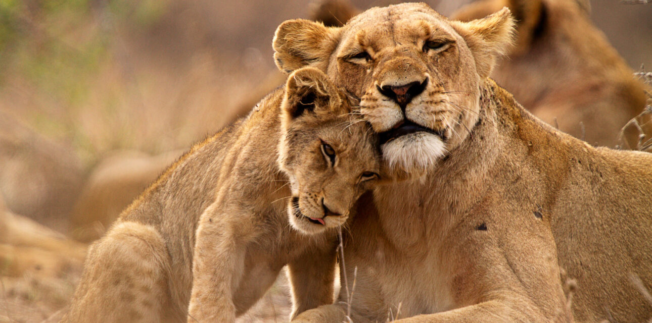 Lions in Africa.