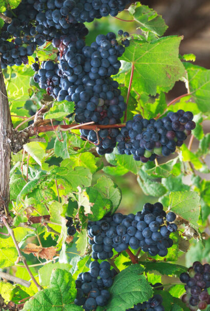 Bunches of fresh grapes.