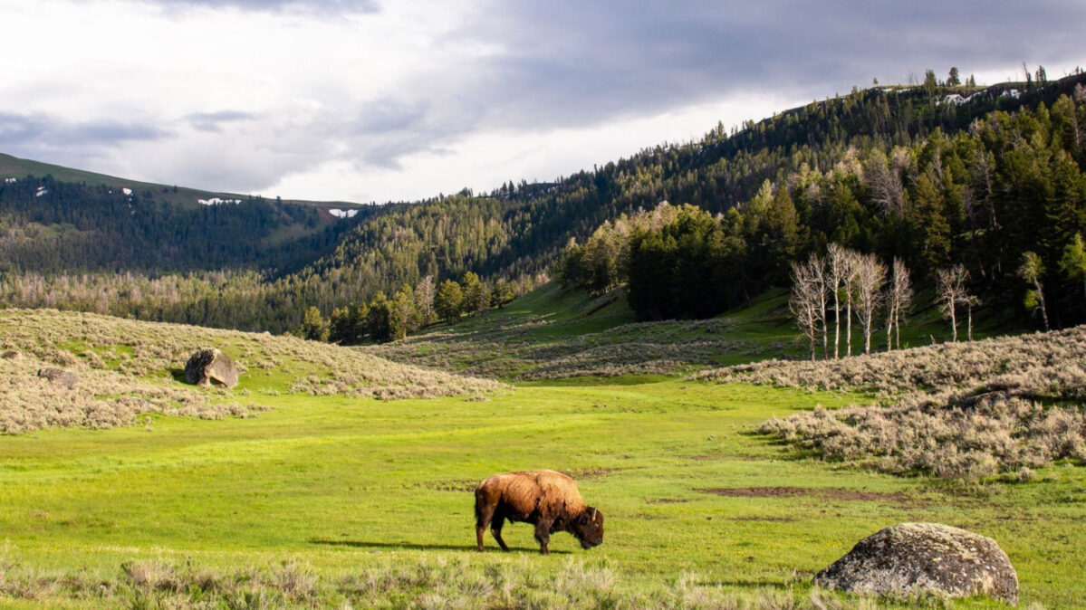 A bison in a field.