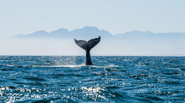 A whale tale out of the ocean.