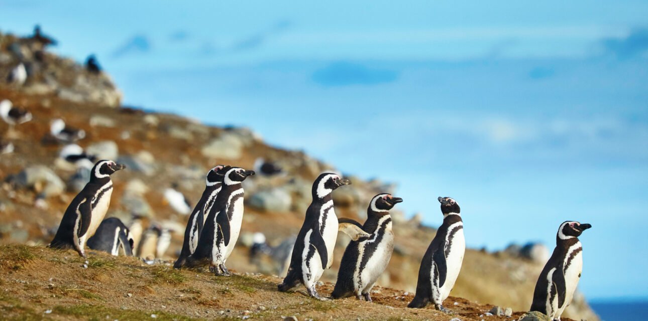 Penguins in Chile.