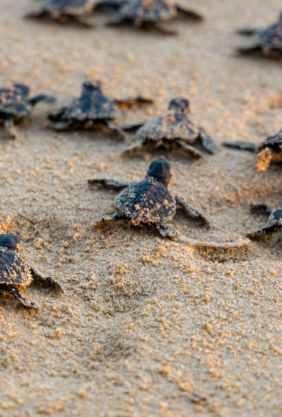 Baby turtles in costa rica.