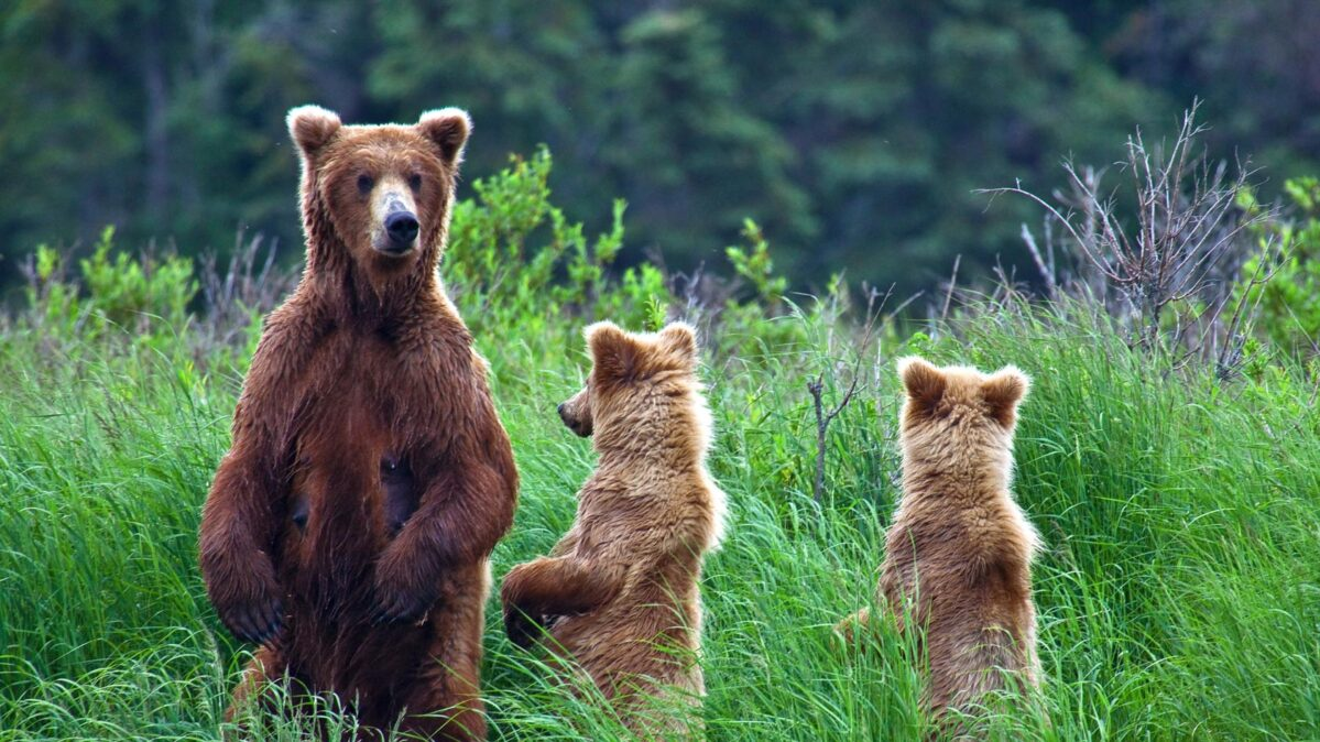 Three bears in the woods.