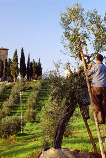 A man on a ladder picking grapes.