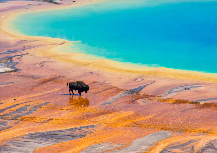 Bison crossing Grand Prismatic Spring Yellowstone National Park USA