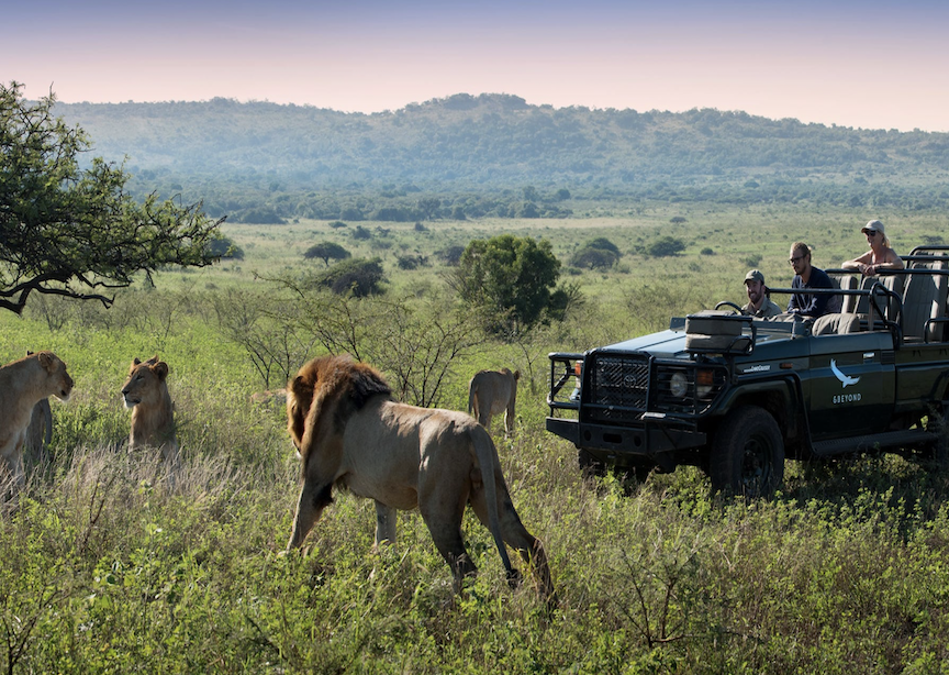 Africa South Africa Phinda Mountain Lodge Travelers on Jeep Safari Watching Four Lions