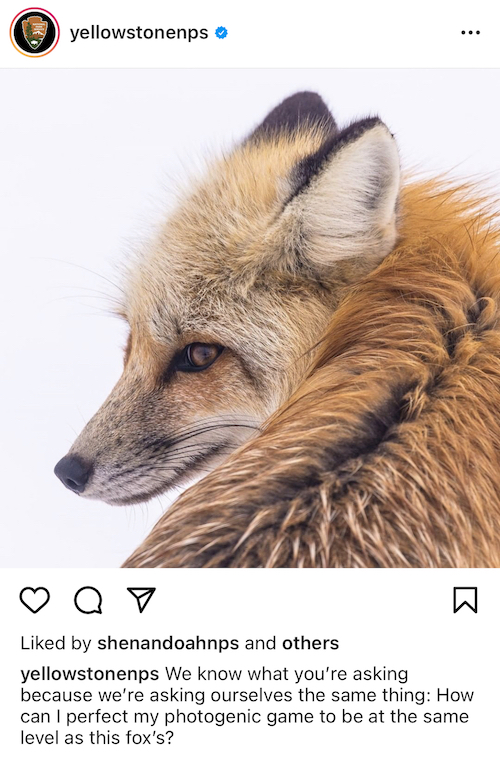 Yellowstone National Park Red Fox Instagram Post