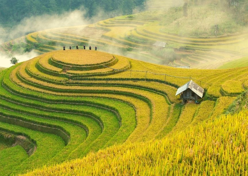 Asia Vietnam rice paddy field terraced yellow and green mountains farmers