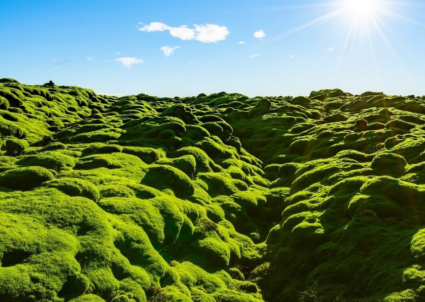 Europe Iceland lava field mossy landscape bright green under blue sky and sunshine