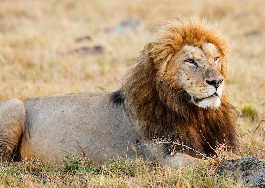 South Africa lion resting in grass