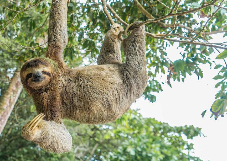 Costa Rica smiling sloth hanging off branch
