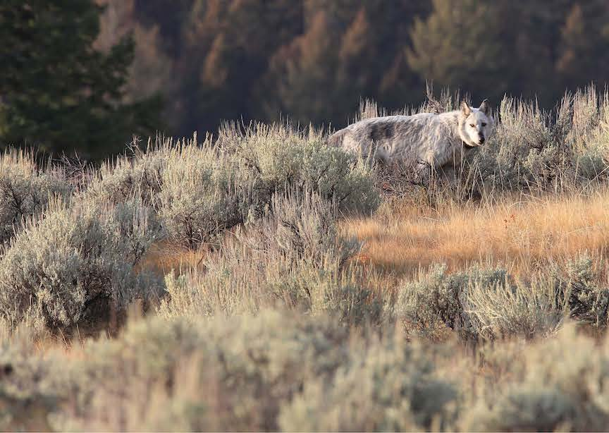 Yellowstone WY USA Wolf in Forest