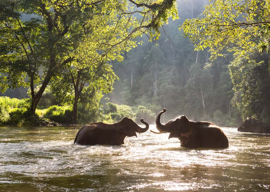 Asia Thailand 2 elephants bathing in jungle river