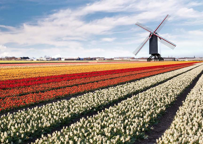 Netherlands multicolor tulip field with windmill